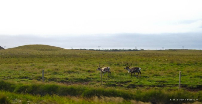 Reindeer on the run by Blondie.