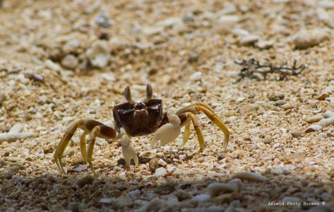 This handsome dandy could be seen skittering across the sand at great speeds during low tide.