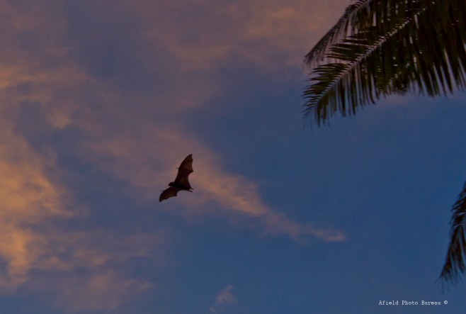 At sunset the local bat population would come out for feeding time. I was not prepared to see bats as big as small dogs swooping through the trees, but after some research I was s